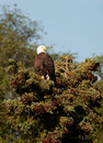 Bald eagle perched in evergreen Royalty Free Stock Photos