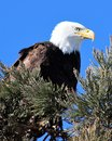 Bald Eagle Perched in Pine Tree Royalty Free Stock Photo