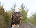 Bald eagle perched pole Stock Photos