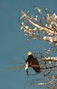 Bald eagle perched on tree Stock Photography