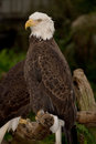 Bald eagle perched tree Stock Image