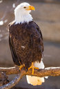 Bald eagle perched on tree branch Royalty Free Stock Photo