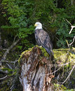 Bald eagle perched on tree stump in forest Royalty Free Stock Photo