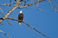 Bald Eagle Perched in the Winter Tree Royalty Free Stock Photo