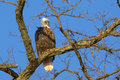 Bald eagle perched on winter tree branch during skies are clear and blue trees are bare bark perfect for this brown and white to Stock Photos