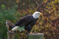 Bald eagle photo of a looking to the side Royalty Free Stock Photos