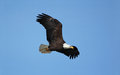 Bald eagle photograph of a lone flying overhead against a vivid blue winter sky Royalty Free Stock Images