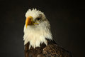 Bald Eagle portrait Stock Photography