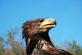 The bald eagle portrait of a on a blue sky Royalty Free Stock Image