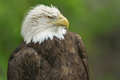 Bald eagle portrait haliaeetus leucocephalus Stock Image