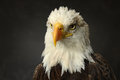 Bald eagle portrait of over dark background Royalty Free Stock Photos