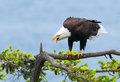 Bald eagle screaming british columbia canada with blue background Stock Images