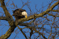 Bald eagle sharpening beak on winter tree branch during skies are clear and blue trees are bare bark perfect for this brown and Stock Image