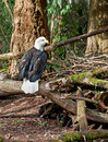 Bald eagle sitting on branches this bird is low to the ground in the undergrowth area of a forest Royalty Free Stock Image