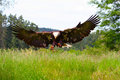 Bald Eagle Spreading Wings Royalty Free Stock Images