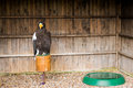 Bald eagle a standing on a top a log Stock Images