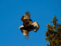 Bald Eagle takeoff Royalty Free Stock Images