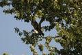 Bald eagle taking off Royalty Free Stock Photos