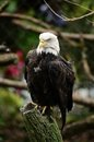 Bald Eagle On Tree Stump Royalty Free Stock Photography
