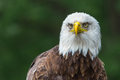 Bald eagle upclose Royalty Free Stock Photo