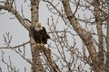 Bald eagle watching from a bare tree haliaeetus leucocephalus Stock Images