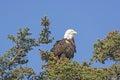 Bald eagle watching the landscape near homer alaska Royalty Free Stock Photo
