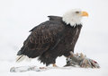 The Bald eagle ( Haliaeetus leucocephalus Royalty Free Stock Photo