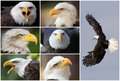 Bald eagles composition collage with a lot of Stock Photo