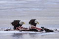 Bald eagles feeding on deer carcass a pair of a white tail the ice Royalty Free Stock Images