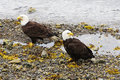 Bald eagles feeding on the shoreline at icy strait point in alaska Stock Photography