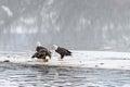 Bald Eagles Haliaeetus leucocephalus eating salmon on the froz Royalty Free Stock Photo