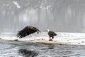 Bald Eagles Haliaeetus leucocephalus fighting for salmon on th Royalty Free Stock Photo