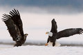 Bald eagles two egles haliaeetus leucocephalus fly up from snow Stock Photos