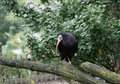 Bald ibis northern geronticus eremita on a branch Stock Photo
