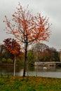 Bald red tree copac rosu frunze cazute toamna lac padure autumn leaves fallen lake forest Stock Photography