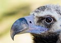 Bald vulture Royalty Free Stock Photo