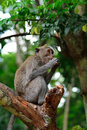 Bali macaque bali indonesia in s monkey forests Stock Photos