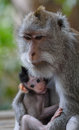 Bali macaques bali indonesia in s monkey forests Stock Photos
