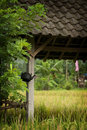 Bali Rice Fields Royalty Free Stock Photo