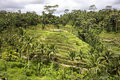 Bali Rice Paddies In Terraces Royalty Free Stock Photo