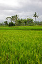 Bali Rice Paddy Royalty Free Stock Images
