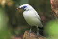 Bali starling Royalty Free Stock Photos