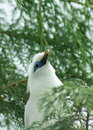 Bali starling l'oiseau Photos stock