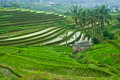 Bali terrace field beautifful rice fields in indonesia Stock Image