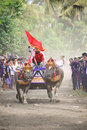 Bali traditional cow race the buffalo racing events indonesia routine held every year in jembrana district Stock Image