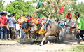 Bali traditional cow race the buffalo racing events indonesia routine held every year in jembrana district Royalty Free Stock Images