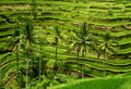 Balinese rice terrace Royalty Free Stock Photos