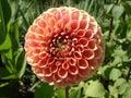 Ball Dahlia Peachy Pink Flower...