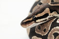 Ball Python close up Royalty Free Stock Photo