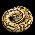 Ball python python regius isolated on a black background snake coiled in a spiral Royalty Free Stock Image